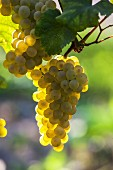 Chardonnay grapes in vineyard of Bellavista. Erbusco, Lombardy, Italy. [Franciacorta]