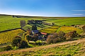 Breaky Bottom Vineyard on the South Downs. Near Rodmell, Sussex, England.