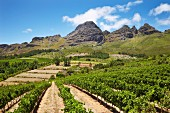 Vineyard of Uva Mira with Stellenbosch Mountain beyond. Stellenbosch, Western Cape, South Africa. [Stellenbosch]