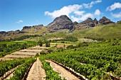 Weinberg von Uva Mira mit Stellenbosch Berg (Stellenbosch, Western Cape, Südafrika)