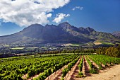 Vineyard of Vergelegen with the Helderberg Mountain in distance. Somerset West, Western Cape, South Africa. [Stellenbosch]