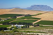 Nitida Cellars and vineyards with Table Mountain in distance. Durbanville, Western Cape, South Africa. [Durbanville]