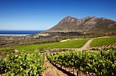 Cape Point Vineyards with Chapman s Bay and Chapman s Peak beyond. Noordhoek, Western Cape, South Africa. [Cape Point]