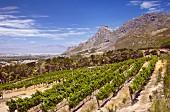 Sauvignon Blanc Weinberg von Steenberg mit False Bay in der Ferne (Constantia, Western Cape, Südafrika)