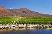 Weinberge von Viljoensdrift über dem Breede River (Robertson, Western Cape, Südafrika)