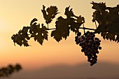 Cabernet Sauvignon grapes at dusk in vineyard of Altair. Cachapoal Valley, Chile. [Rapel]