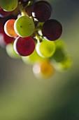 Veraison einer Merlot-Traube, Bordeaux, Frankreich