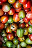 Rot-grüne Tomaten