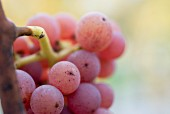 Close-up of red Traminer grapes on a vine