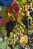 Pinot noir grapes being harvested in Goldwand, Michael Weztel