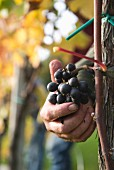 A hand reaching for pinot grigio grapes on a vine, pino grigio harvest at Goldwand, Michael Weztel