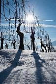 Rebstöcke im Gegenlicht vor blauem Himmel, Aargau