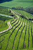 A path winding along a hillside in a vineyard, Aargau