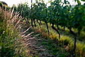 Summer in a vineyard (selective focus), Fricktal