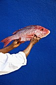 A dark skinned man holding a red snapper