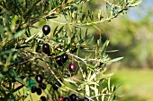 Black olives on the tree