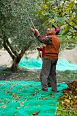 A man harvesting olives