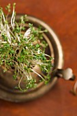 A pot of fresh garden cress