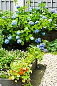 A bed of herbs with a gravel border in front of a flowering hydrangea