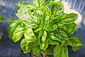 Fresh Basil Plants; From Above