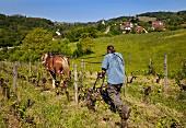 Winzer pflügt mit Pferd seinen Weinberg mit 60-jährigen Poulsard und Pinot Noir Reben (Domaine Cibellyne, Mesnay, Jura, Frankreich)