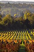 Weinlese von Pinot Noir Trauben im Albury Organic Vineyard (Albury, Surrey, England)