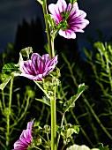 Wilde Malve, lila gestreifte Blüten am Stengel