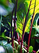 Beetroot leaves in a field