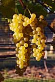 Vogelschutznetz auf dem Vidal Blanc Vineyard von Williamsburg Winery, Williamsburg, Virginia, USA