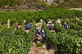 Weinlese von Chenin Blanc Trauben im Weinberg von Vondeling, Paarl, Western Cape, Südafrika