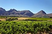 Chenin Blanc Weinberg von Nederburg mit den Dutoitskloof-Bergen (Paarl, Western Cape, Südafrika)