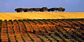 Weinberg und Weizenfeld bei Morales de Toro (Castilla y Leon, Spanien)