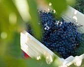 Weinlese von Merlot-Trauben im Weinberg von Château Ausone (St-Emilion, Gironde, Frankreich)
