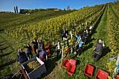 Weinlese von Sauvignon Blanc Trauben in Hochgrassnitzberg, Spielfeld, Steiermark, Österreich