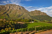 Thelema Mountain Weinberge vor dem Simonsberg (Stellenbosch, Western Cape, Südafrika)
