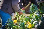 Männer beim Abschneiden von Rosenkohlblättern vor der maschinellen Rosenkohlernte