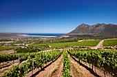 Cape Point Weinberge mit Chapmans Bay (Noordhoek, Western Cape, Südafrika)