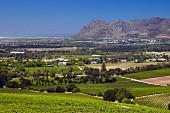 Weinberge von Klein Constantia mit False Bay (Constantia, Western Cape, Südafrika)