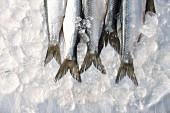 Fresh sardine tails on ice
