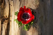 A red anemone on a piece of bark (seen from above)