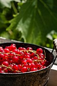A bucket of redcurrants in the sunshine