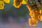 Evening light on Riesling grapes in vineyard of Cousiño Macul, Santiago, Maipo Valley, Chile. [Maipo Valley]