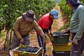 Harvesting in vineyard of Haras de Pirque, Pirque, Maipo Valley, Chile. [Maipo Valley]