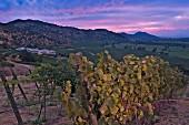 Syrah vineyard of Haras de Pirque, Pirque, Maipo Valley, Chile. [Maipo Valley]