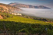 Early morning mist over Syrah vineyards of Haras de Pirque vineyards, Maipo Valley, Chile. [Maipo Valley]