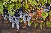Cabernet Sauvignon grapes in vineyard of Haras de Pirque, Maipo Valley, Chile. [Maipo Valley]