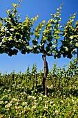 Grüner Veltliner vineyard in spring, Wachau, Niederösterreich, Austria. [Wachau]