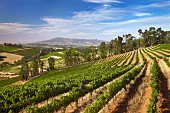 Kanonkop vineyards, Stellenbosch, Western Cape, South Africa. [Simonsberg-Stellenbosch]