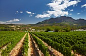 Neil Ellis vineyard with the Simonsberg mountain beyond. Stellenbosch, Western Cape, South Africa. [Simonsberg-Stellenbosch]