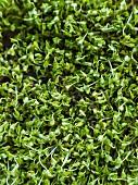 Organic broccoli sprouts (close-up)
